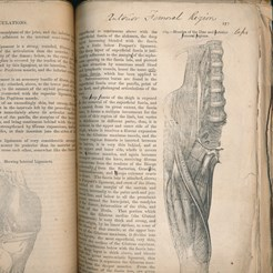 Muscles of the Interior Femeral Regions, Gray's Anatomy Proof (1858), RCSEd
